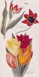 Tulips - Flora Universalis