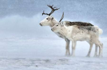Two Reindeer, male and female during a blizzard, Kiberg Varanger Finnmark,Norway