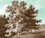 Serene Trees I