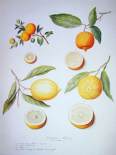 Citrons, Oranges and Lemons