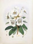 Rhododendron Dalhousiae