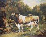 A Bull of The Alderney Breed