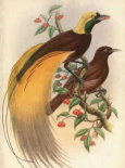 Golden Bird of Paradise