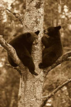 Black Bear two cubs in tree, Orr, Minnesota