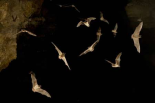Brazilian Free-tailed Bat group emerging from James Eckert River Bat Cave at dusk, Texas