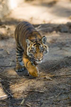 Tiger cub, native to Asia