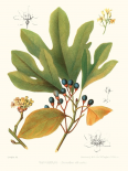 Non-embellished Antique Sassafras