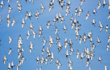 Black-tailed Godwit flock flying overhead, Europe