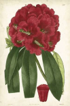 Antique Rhododendron I