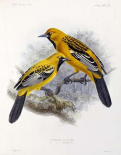 Ecuadorian Cacique and an Orange Oriole