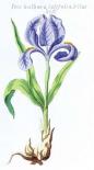 Iris Bulbosa Latifolia