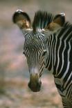 Grevys Zebra foal, Kenya