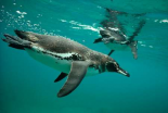 Galapagos Penguins diving, Bartolome Island, Galapagos Islands, Ecuador