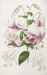 A Monograph of The Genus Lilium