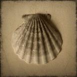 Seashell Study I