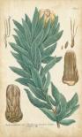 Weinmann Conifers I