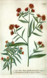 Aster, Plate 189