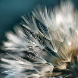 Dandelion Dreams I