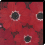 Triple red Anemone