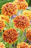 Blanketflower dakota reveille variety flowers
