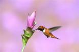 Rufous Hummingbird male feeding at flower-Green Valley-Arizona