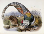 Family of Pheasants
