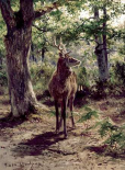 Stag On Alert, In Wooded Clearing