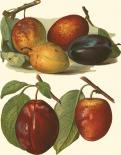 Plum Varieties I