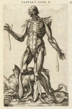 Male figure with muscles and skeleton