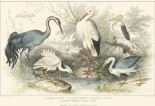 Herons, Egrets and Cranes