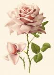 Victorian Rose I