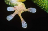 Madagascar Day Gecko underside detail of foot