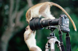 Black-faced Vervet Monkeys playing on camera and tripod, Barbados