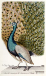 Male Peacock In Full Display