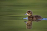 Tufted Duck young, swimming on lake, Bambois, Belgium