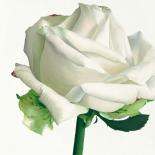 White Rose I