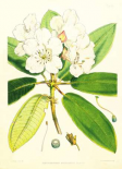 Rhododendron Aucklandii