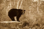 Black Bear adult, standing on rock in woodland, Minnesota
