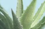 Soft Focus Succulent 1