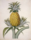 Black Jamaican Pineapple