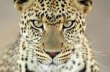 Leopard female, Serengeti National Park, Tanzania