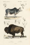 Antique Cow and Bison Study