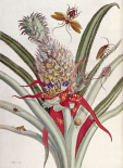 Pineapple - Ananas With Surinam Insects