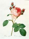 Rose,Centifolia with 100 Petals