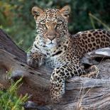 Leopard resting, Botswana