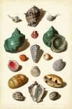Muller Shells Tab. V