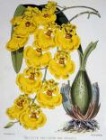Oncidium Varicosum Var. Rogers II
