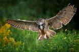 Eagle Owl landing, Netherlands