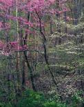 Redbud and Dogwood I