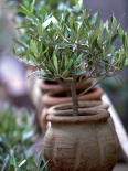 Petit olivier